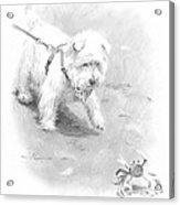 Westie On Beach Pencil Portrait  Acrylic Print