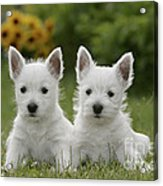 Westie Puppies Acrylic Print