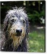 Wet Dog Acrylic Print