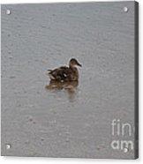 Wet Duck Acrylic Print