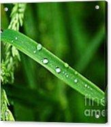 Wet Grasses Acrylic Print