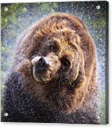 Wet Griz Acrylic Print by Steve McKinzie