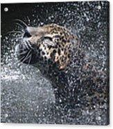 Wet Jaguar  Acrylic Print