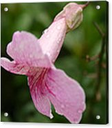 Wet Pink Acrylic Print by Frederico Borges