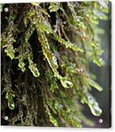 Wet Redwood Branches Acrylic Print