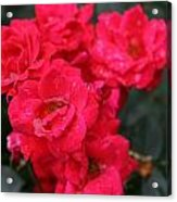 Wet Roses Acrylic Print by Debbie Sikes