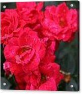 Wet Roses Acrylic Print