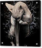 Wet Sphynx Acrylic Print