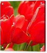 Wet Tulips Acrylic Print