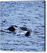 Whale 2 Acrylic Print