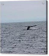 Whale Tail 2 Acrylic Print