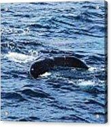 Whale Tail 3 Acrylic Print