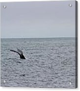 Whale Tail 8 Acrylic Print