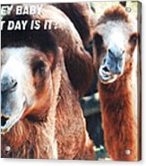 Camel What Day Is It? Acrylic Print