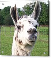 Rare Polka Dot Llama Pogo Acrylic Print