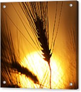 Wheat At Sunset Silhouette Acrylic Print