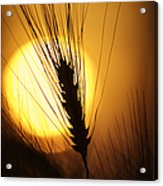 Wheat At Sunset  Acrylic Print by Tim Gainey