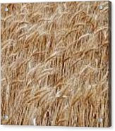 Wheat Harvest Acrylic Print