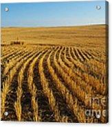 Wheat Rows Acrylic Print