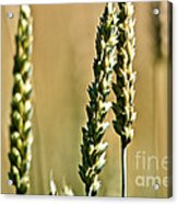 Wheat Stalks Acrylic Print