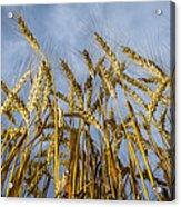 Wheat Standing Tall Acrylic Print