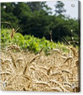 Wheat Acrylic Print by Stefano Piccini