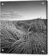 Wheat Waves Acrylic Print