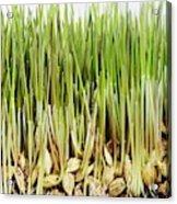 Wheatgrass Seedling Acrylic Print