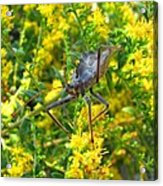 Wheel Bug  Acrylic Print