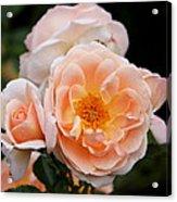 Wheeping Rose Acrylic Print