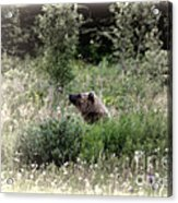 When Bears Dream Acrylic Print