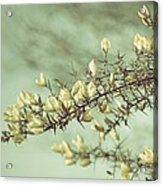 When Gorse Flowers Sing Their Melody Acrylic Print