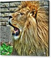 When He Speaks...they Listen...lazy Boy At The Buffalo Zoo Acrylic Print
