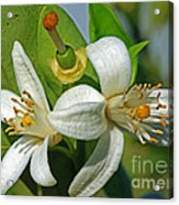 Where Oranges Come From Blossoms Acrylic Print