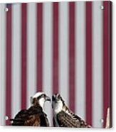 Where Ospreys Dare Acrylic Print