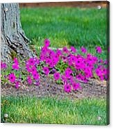 Where Petunia Grows Acrylic Print