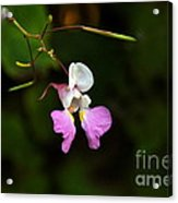Where The Faerie Bonnets Come From Acrylic Print