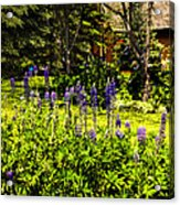 Where The Lupines Grow Acrylic Print