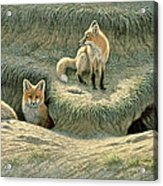 Where's Mom-fox Pups Acrylic Print by Paul Krapf