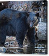 Where's That Cub? Acrylic Print