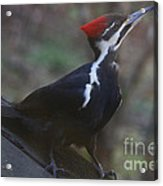 Which Way Is The Suet? Acrylic Print