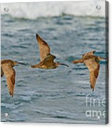Whimbrel Trio In Flight Acrylic Print