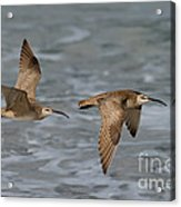 Whimbrels Flying Above Beach Acrylic Print