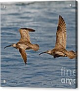 Whimbrels Flying Close Acrylic Print