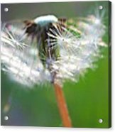 Whimsy Dandelion Acrylic Print by Candice Trimble