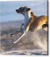 Whippet Dogs Fighting Acrylic Print