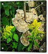 Whirled Turkey Fungus Acrylic Print