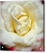 Whirling Rose Acrylic Print