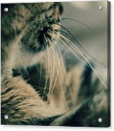 Whiskers Acrylic Print