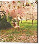 Whispering Cherry Blossoms Acrylic Print
